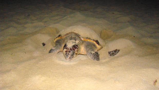 A cala sinzias avvistata un 39 altra caretta caretta sardegna for Incubazione uova tartaruga