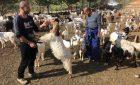 A Muravera il latte di capra alla spina